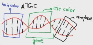 Genes vs Alleles - What is the Difference? - Now i know by ...